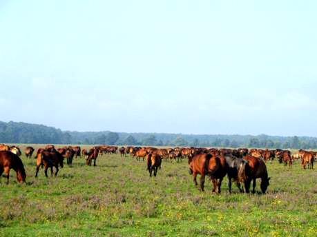 konji u Odranskom polju